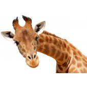 Giraffe Wall Stickers